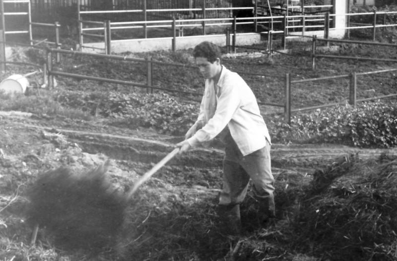 תמונה 66- 908 -ג'ש 1957-קב' ארז-דני בוקרה עובד בזבל ברפת עם יענקל שפירא