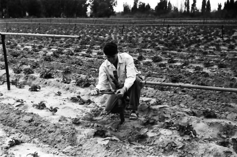 תמונה 29- 646 - ג'ש 1957-נער מקב' ארז-בגן הירק