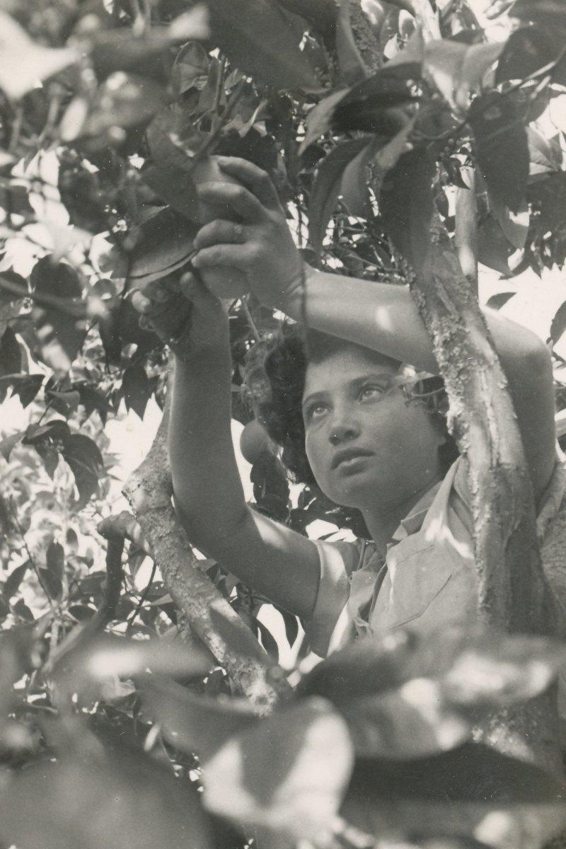 תמונה 37- 908 -ג'ש 1957-קב' ארז-דרורה קוטפת בפרדס