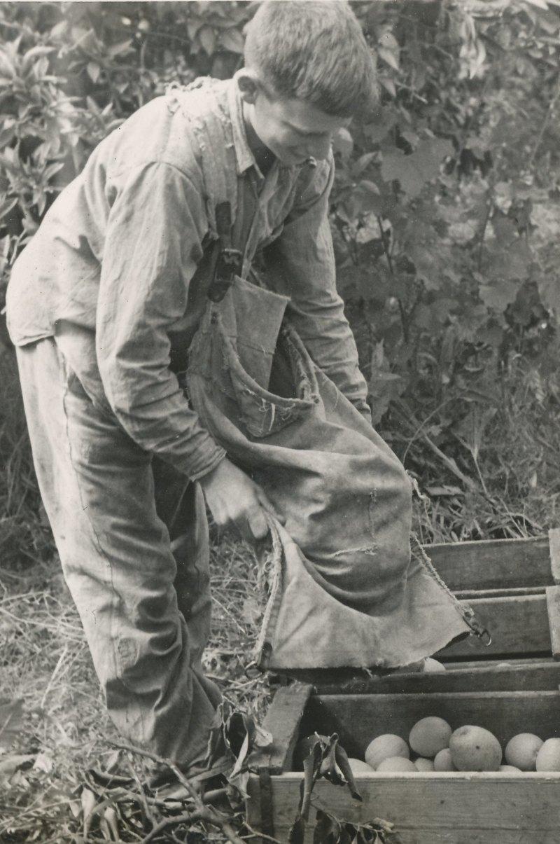 תמונה 38- 908 -ג'ש 1957-קב' ארז-גידי סגל קוטף בפרדס