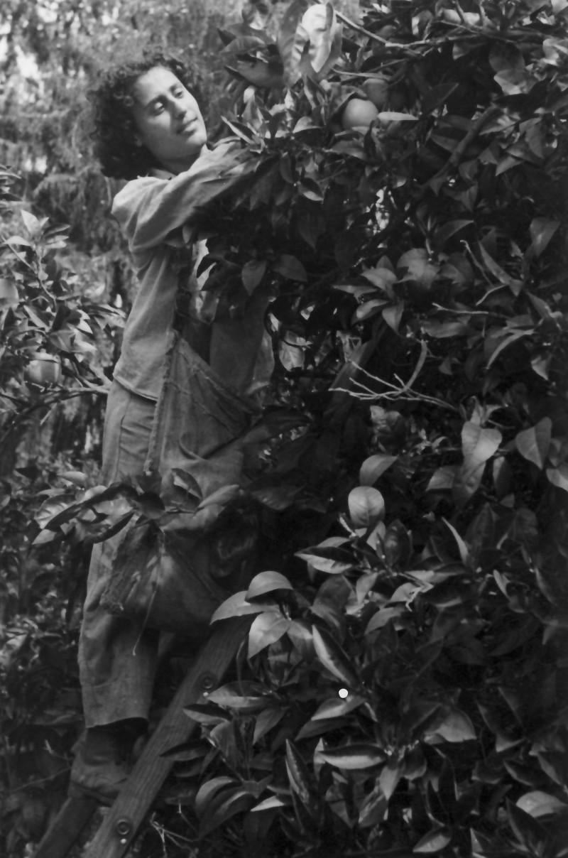 תמונה 65- 908 -ג'ש 1957-קב' ארז-נורית סירקיס קוטפת בפרדס