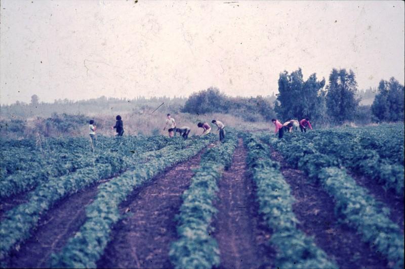 שקופית 25- 181 -ג'ש 1975-8-מוסד חינוכי-קב' להבה-עישוב כותנה