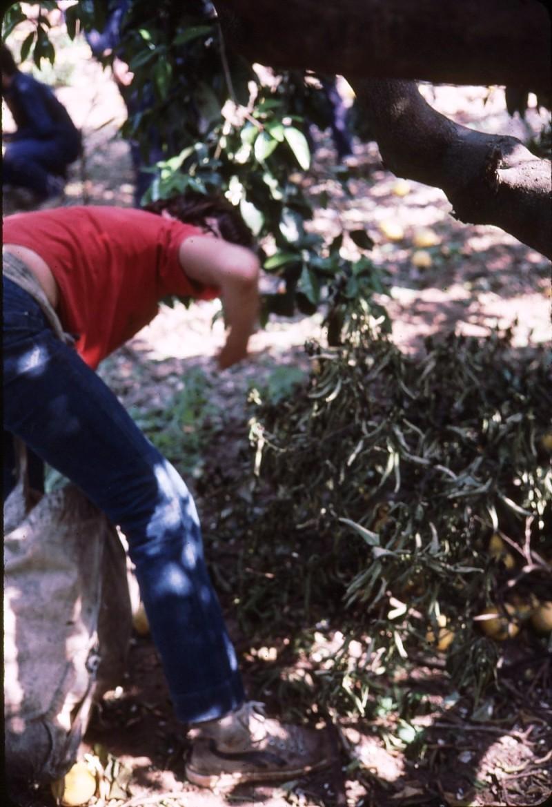 שקופית 6- 191 -ג'ש 1983-מוסד-קטיף