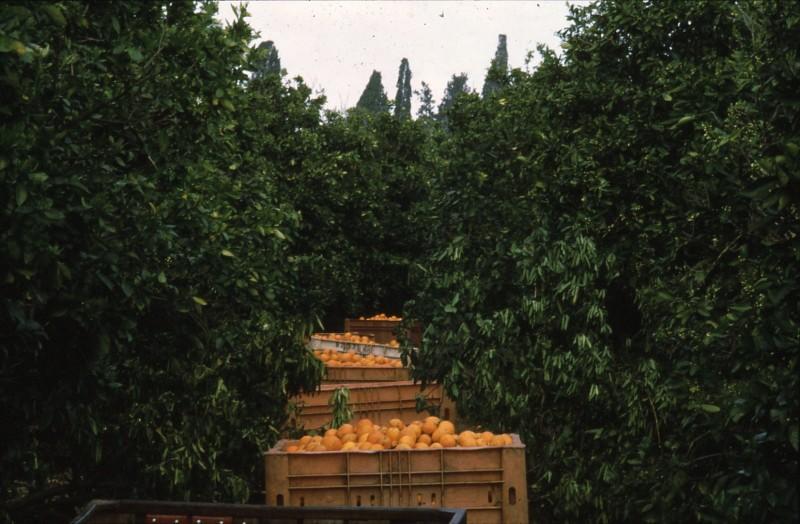 שקופית 14- 182 -ג'ש 1992-3-קטיף מוסד-מיכלי תפוזים בפרדס