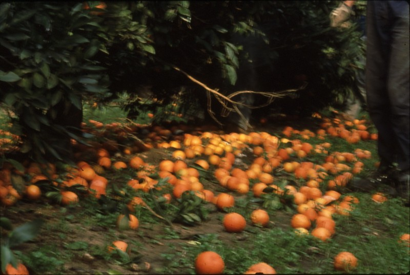 שקופית 19- 182 -ג'ש 1992-3-קטיף מוסד-תפוזים לפני איסוף