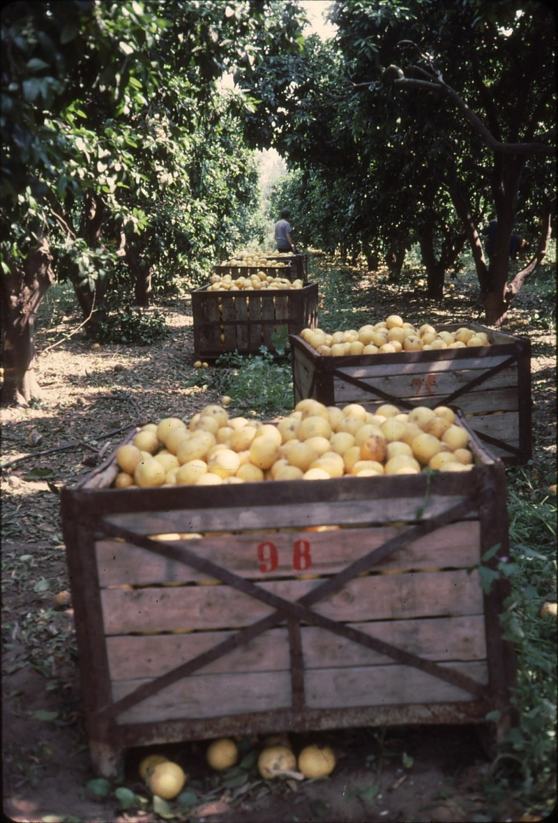 שקופית 20- 182 -ג'ש 1992-3-קטיף מוסד-מיכלי אשכוליות בפרדס