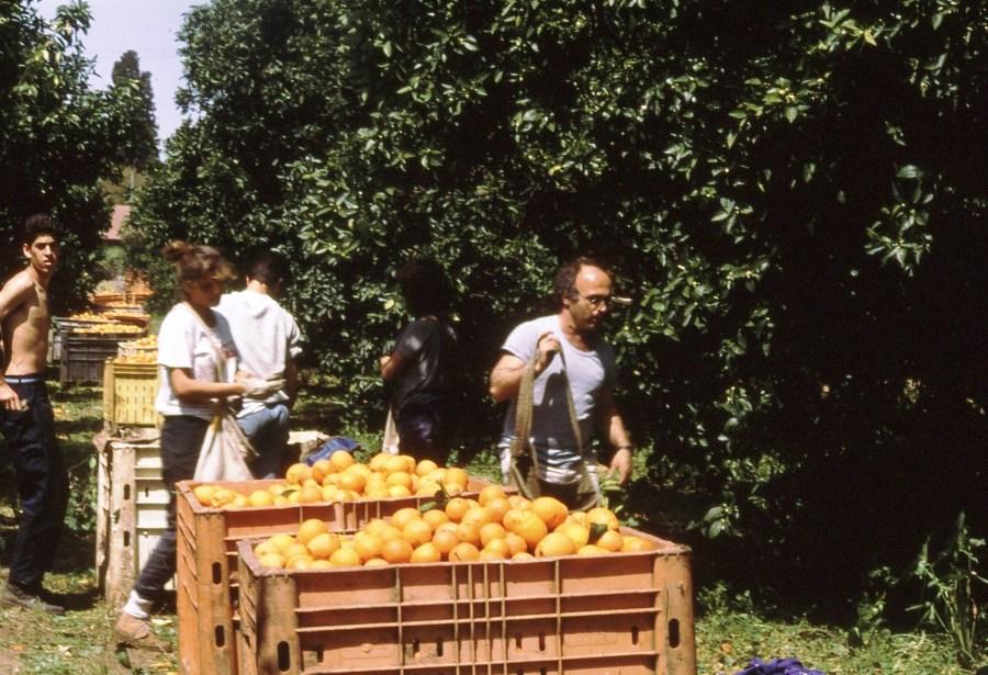 שקופית 88- 174 -גג'ש 1992-3-שמעון זיואור עם חניכי מוסד בקטיף תפוזים בפרדס