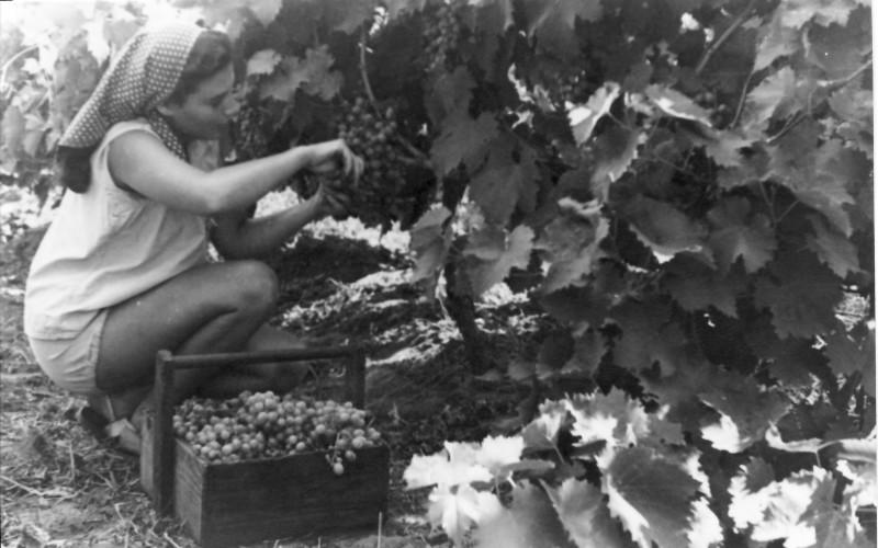 תמונה 25- 914 -גש 1953-קב שבלים-מרים פרנק