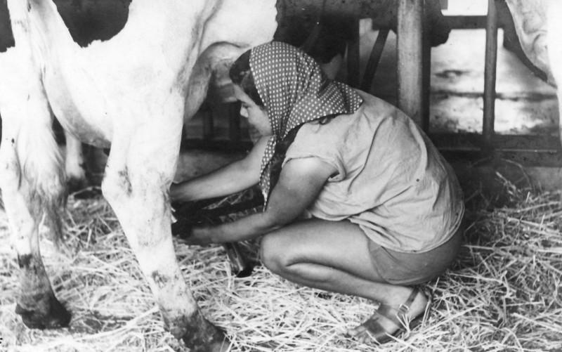 תמונה 28- 914 -גש 1953-קב שבלים-מיכל זיידנברג-לנס חולבת ברפת