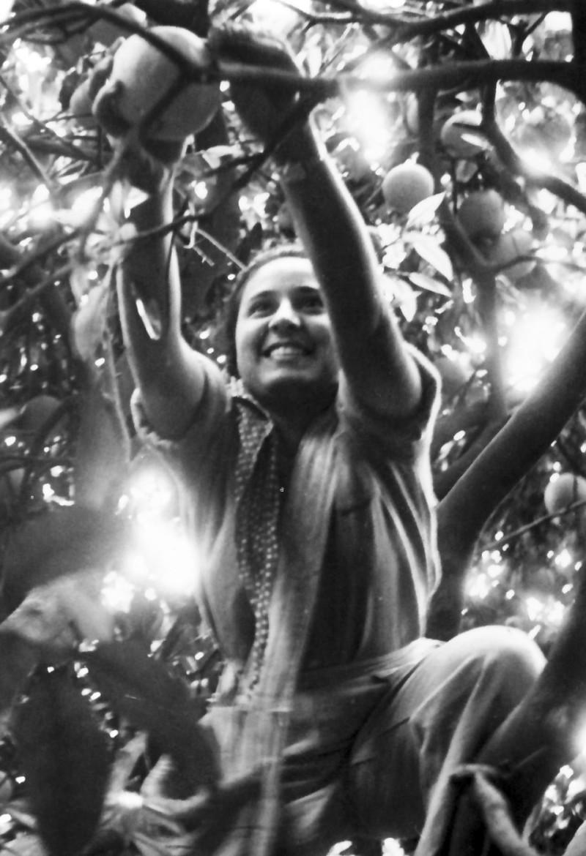 תמונה 8- 925 -גש 1956-7-קב אמיר-קטיף תפוזים בפרדס-תמי פארי