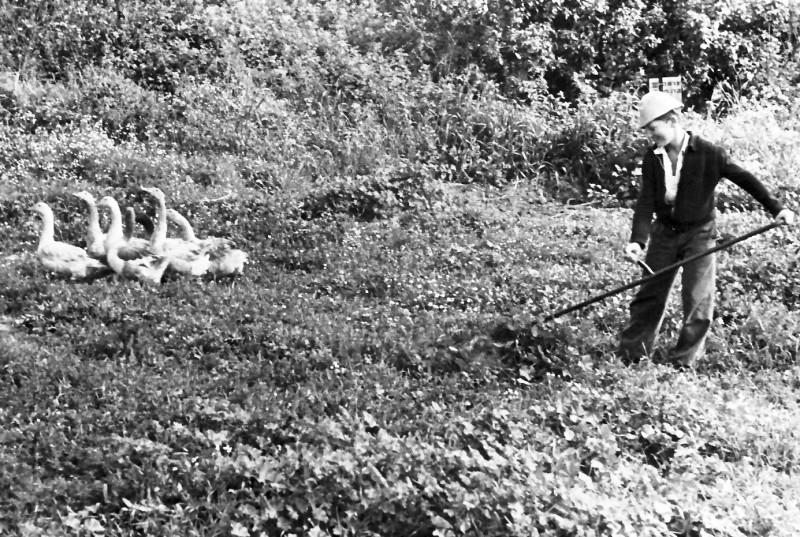 תמונה 13- 925 -גש 1956-7-קב אמיר-עם האווזים במשק מוסד