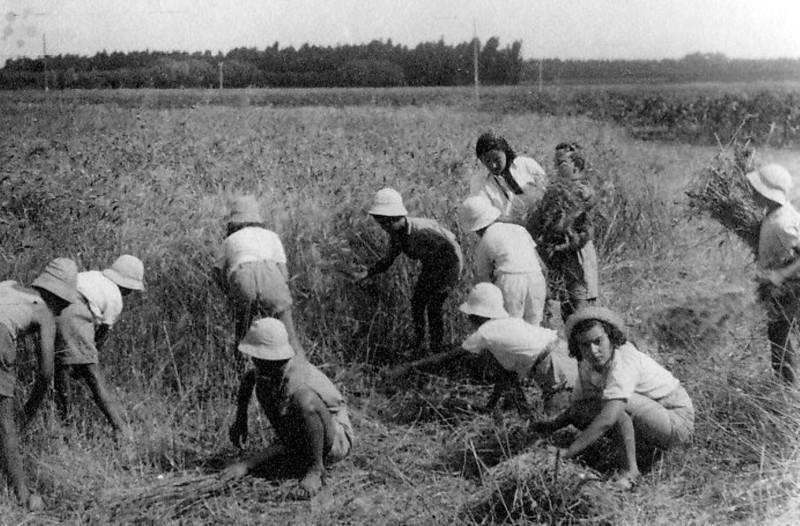 תמונה 16- 216 - ילדי קבוצת אלומה קוצרים בשדה - שנות ה-40-50 - בחזית - איה סימון