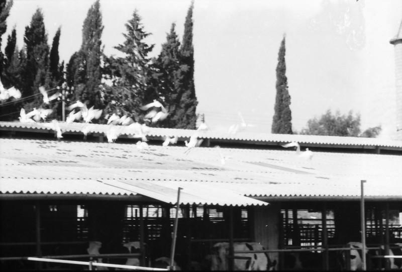 תמונה 19- 1385 -ג'ש 1968-אנפות על גג הרפת